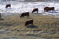 Cattle Feeding 2018 royalty free stock image