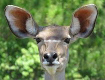 I hear you. Image of a female greater Kudu with big ears stock photography