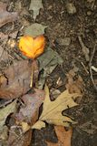 I Heart Fall Leaf stock photography
