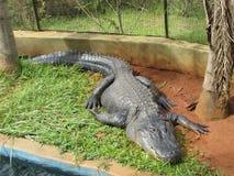 I het krokodille rusten Royalty-vrije Stock Afbeelding