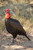 Hornbill a terra del sud (leadbeateri di Bucorvus) Immagini Stock Libere da Diritti