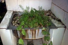 I houseplants för vaskhandfatavel Fotografering för Bildbyråer
