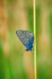 I idas di Plebejus, blu di Idas, è una farfalla nella lycaenidae della famiglia Bella farfalla che si siede sul fiore Fotografia Stock