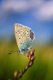 I idas di Plebejus, blu di Idas, è una farfalla nella lycaenidae della famiglia Bella farfalla che si siede sul gambo Immagini Stock Libere da Diritti