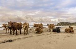 I il MOO gradisce essere accanto alla spiaggia immagine stock libera da diritti
