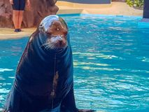 I Image taken Sea Lions Show. Sea Lions jumping in the pool water royalty free stock image