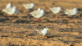 I am an individual. Individual tern standing out, unique, alone Royalty Free Stock Image