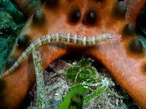 I intestinalis scribacchiati di Corythoichthys del pipefish si avvicinano al nodosus di Protoreaster della stella di mare di pepi video d archivio
