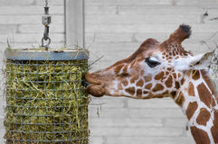 I kiss my food. A giraffe sticking his tongue inside this hanging foodbox, but it seems like he`s kissing it Stock Photos