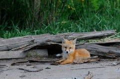 I kit di Fox rosso del bambino si avvicinano alla tana Immagini Stock