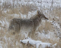 I know there is food. Coyote hunting after an early morning snow Royalty Free Stock Photography