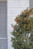 I kumquat sono un gruppo di piccoli alberi da frutto nella rutaceae di fioritura della famiglia di pianta immagini stock libere da diritti