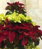 I lager träd för livlig julstjärna för två färg arkivbilder