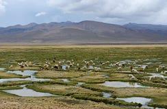 I lama e l'alpaca pascono nelle montagne vicino a Arequipa, Perù Fotografia Stock Libera da Diritti