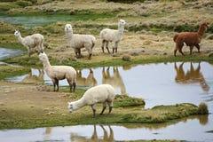 I lama e l'alpaca pascono nelle montagne vicino a Arequipa, Perù Immagine Stock Libera da Diritti