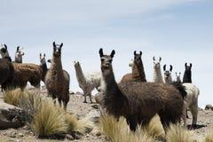 I lama intorno al sale boliviano abbandonano, Salar de Uyuni, Bolivia fotografia stock libera da diritti