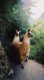 I lama sul inca strascicano il picchu Perù di machu Fotografie Stock