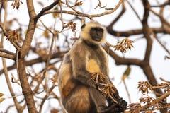 I langurs grigi indiani o i langurs di Hanuman Monkey (Semnopithecus otorinolaringoiatrico Immagine Stock Libera da Diritti