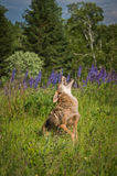 I latrans del canis del coyote urla una gamba drizzata Fotografia Stock Libera da Diritti