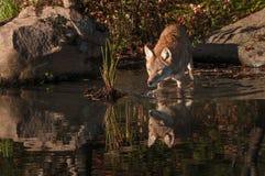 I latrans del canis del coyote hanno riflesso le passeggiate nell'acqua Fotografia Stock