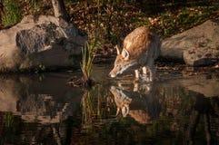 I latrans del canis del coyote spruzza il ginocchio in profondità in acqua Fotografia Stock