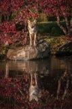 I latrans del canis del coyote sta su roccia Fotografia Stock Libera da Diritti