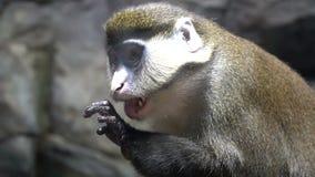 I lavaggi della scimmia La scimmia lecca la sua mano Scimmia molto divertente e bella archivi video
