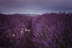 I lavendeln Arkivfoto