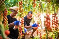 I lavoratori dell'agricoltura del papà e del figlio che cheking e raccolgono il raccolto della c Immagini Stock Libere da Diritti