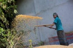 I lavoratori hanno sparso il raccolto del mais per l'essiccamento ad un mercato di grano all'ingrosso Immagini Stock Libere da Diritti