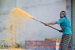 I lavoratori hanno sparso il raccolto del mais per l'essiccamento ad un mercato di grano all'ingrosso Immagine Stock