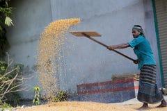 I lavoratori hanno sparso il raccolto del mais per l'essiccamento ad un mercato di grano all'ingrosso Fotografia Stock