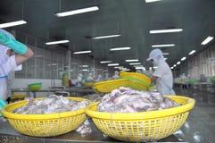 I lavoratori stanno classificando il polipo fresco crudo per trasferire al punto seguente della linea di trasformazione in una fa Immagine Stock Libera da Diritti