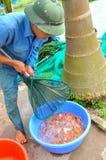 I lavoratori stanno prendendo gli animali da riproduzione del pesce di Koi dagli stagni ai carri armati Immagine Stock