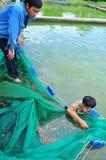 I lavoratori stanno prendendo gli animali da riproduzione del pesce di Koi dagli stagni ai carri armati Fotografia Stock Libera da Diritti