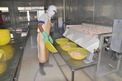 I lavoratori stanno raccogliendo i gamberetti in una linea dalla macchina di congelamento in una fabbrica dei frutti di mare nel  Fotografia Stock