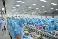 I lavoratori stanno raccordando il pesce gatto di pangasius in una fabbrica dei frutti di mare nel delta del Mekong del Vietnam Fotografia Stock