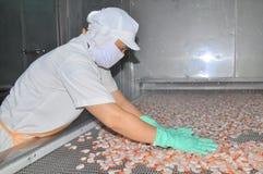 I lavoratori stanno sistemando i gamberetti in una linea alla macchina di congelamento in una fabbrica dei frutti di mare nel Vie Fotografia Stock