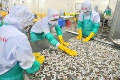 I lavoratori stanno sistemando i gamberetti in una linea alla macchina di congelamento in una fabbrica dei frutti di mare nel Vie Immagini Stock Libere da Diritti