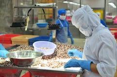 I lavoratori stanno verificando la qualità del polipo ad esportazione in una fabbrica di elaborazione dei frutti di mare Fotografia Stock Libera da Diritti