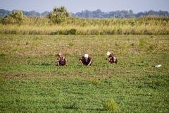 I lavoratori sulla piantagione estraggono manualmente le erbacce Lavoratori nel funzionamento del campo Fotografia Stock Libera da Diritti