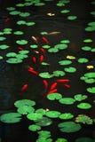 I leavs ed i pesci verdi rotondi del loto Fotografia Stock