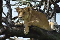 I leoni aumentano un albero Fotografia Stock Libera da Diritti