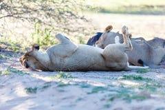 I leoni che dormono nella tonalità di un albero nel Kgalagadi parcheggiano Fotografia Stock