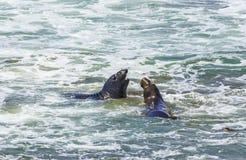 I leoni di mare combattono nelle onde dell'oceano Immagini Stock