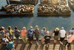 I leoni di mare si avvicinano al pilastro 39 di San Francisco Fotografia Stock