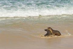 I leoni marini australiani che giocano con l'acqua di mare alla guarnizione abbaiano, Kangaro Immagini Stock