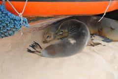 I leoni marini della mamma e del bambino della famiglia si sono accovacciati delicatamente e dormendo sotto la barca Immagine Stock Libera da Diritti