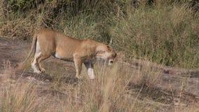 I leoni si vantano e cuccioli nel Kenia Immagine Stock