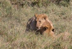 I leoni si vantano e cuccioli nel Kenia Fotografia Stock